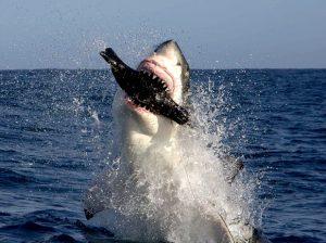 tiburon-cazando-foca