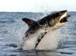 tiburon-blanco-cazando-foca