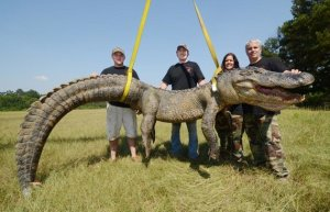 cocodrilo-mississippi-capturado
