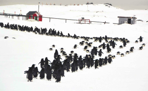 marcha-pinguinos-antartica-chilena