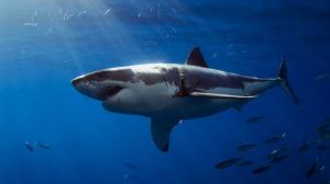 tiburon-blanco-australia
