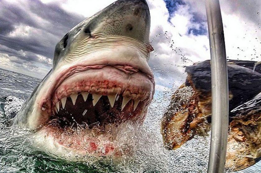 Amanda-Brewers-shark-picture